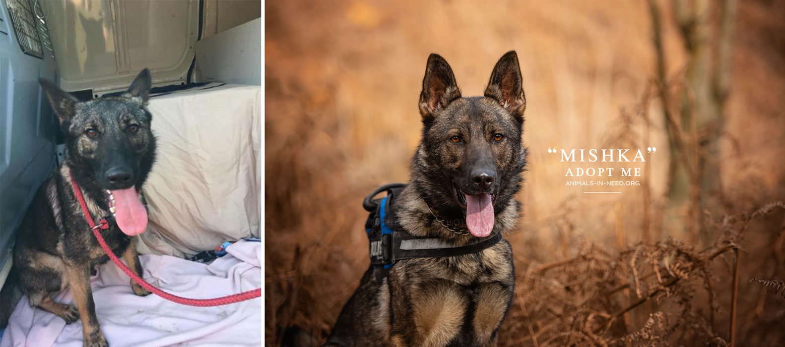 before after photo of female GSD