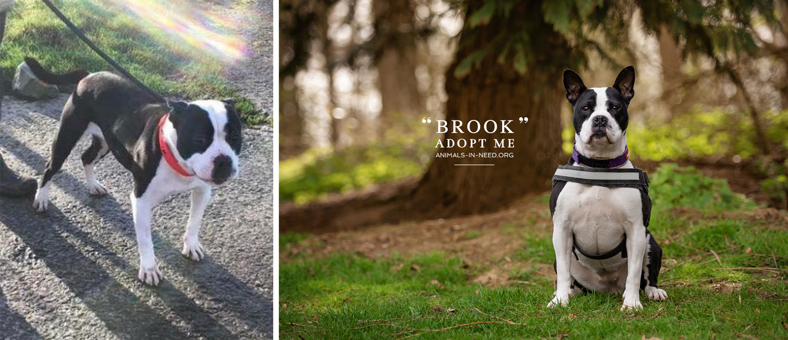 before after photo of frenchie cross dog