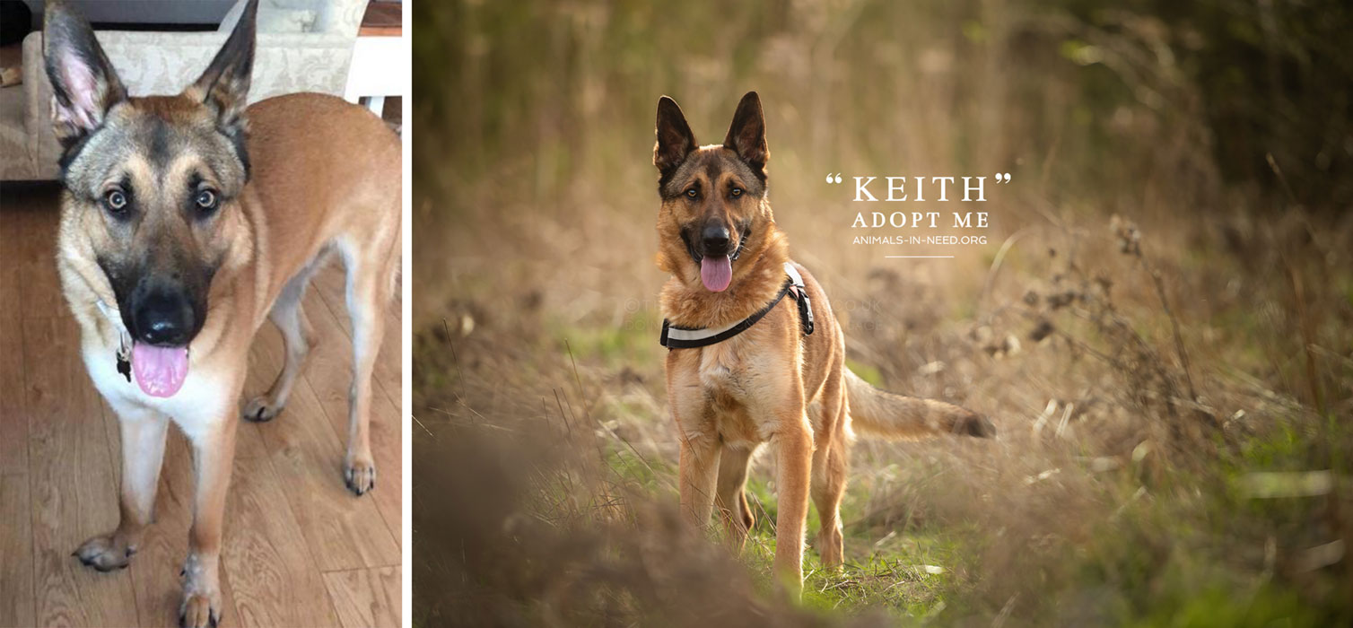 before after photo of male german shepherd dog