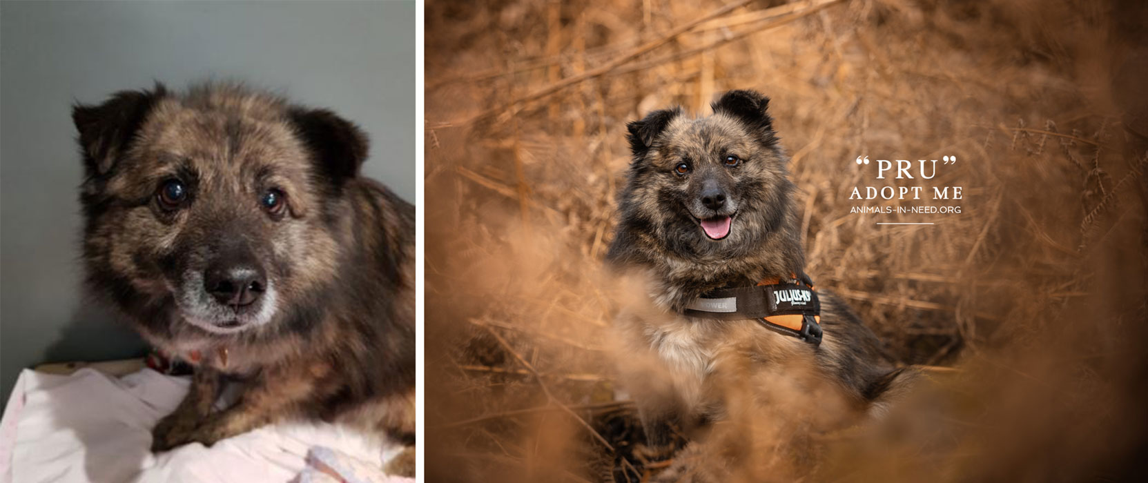 before after photo of small brown mixed breed dog