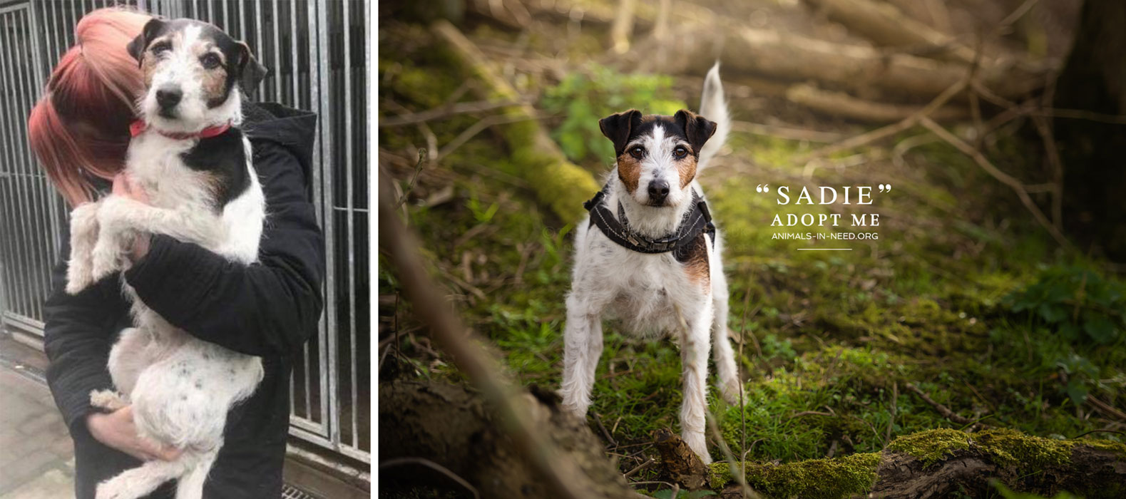 before after photo of small terrier