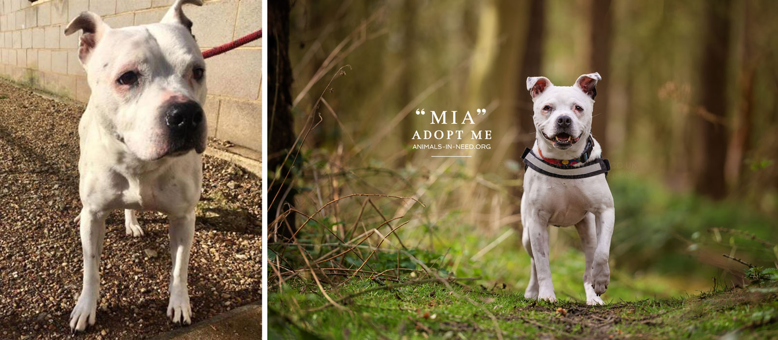 before after photo of white staffie