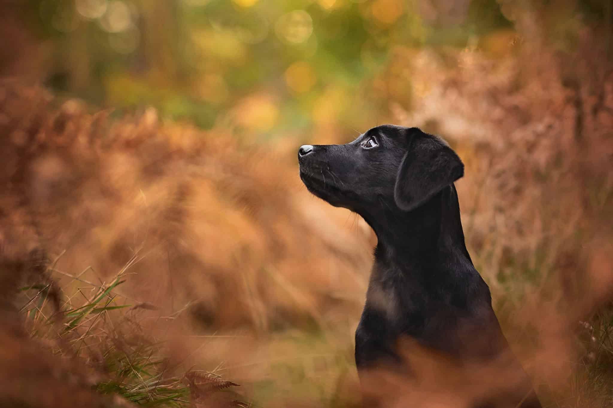 black labrador puppy harlestone firs forest