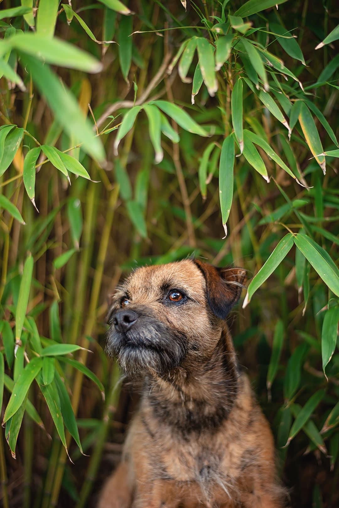 border terrier in bamboo garden
