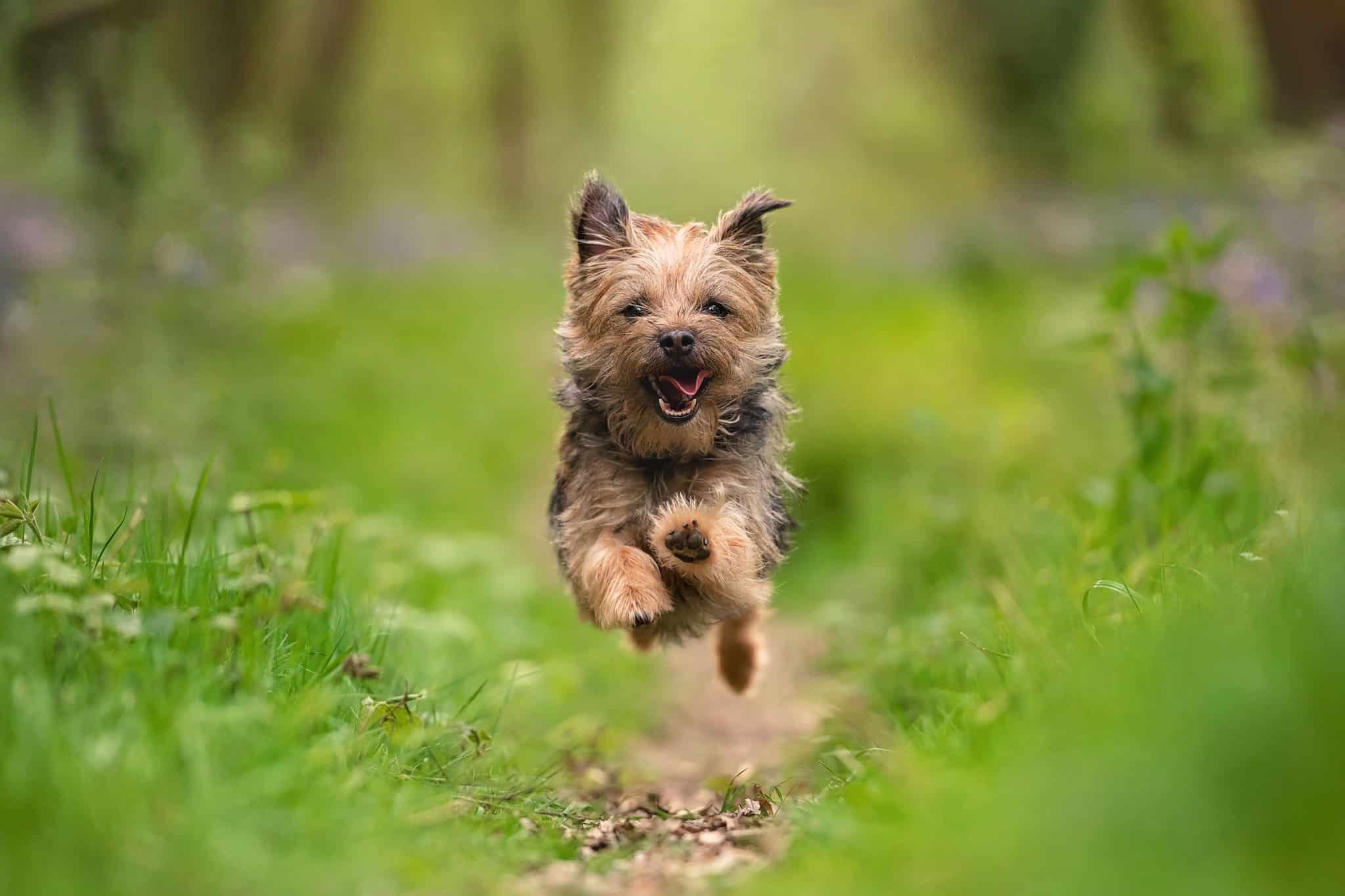 border terrier running in badby woods northamptonshire