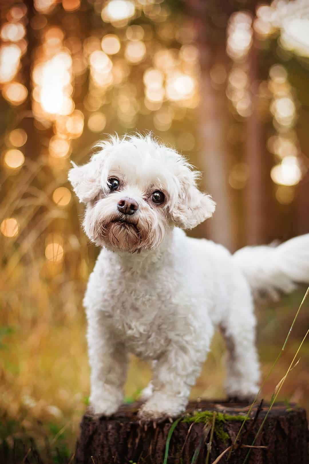small white dog on tree stump