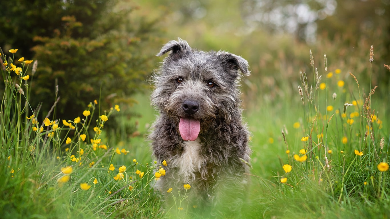 grey terrier dog sitting in meadow in Crick Northants
