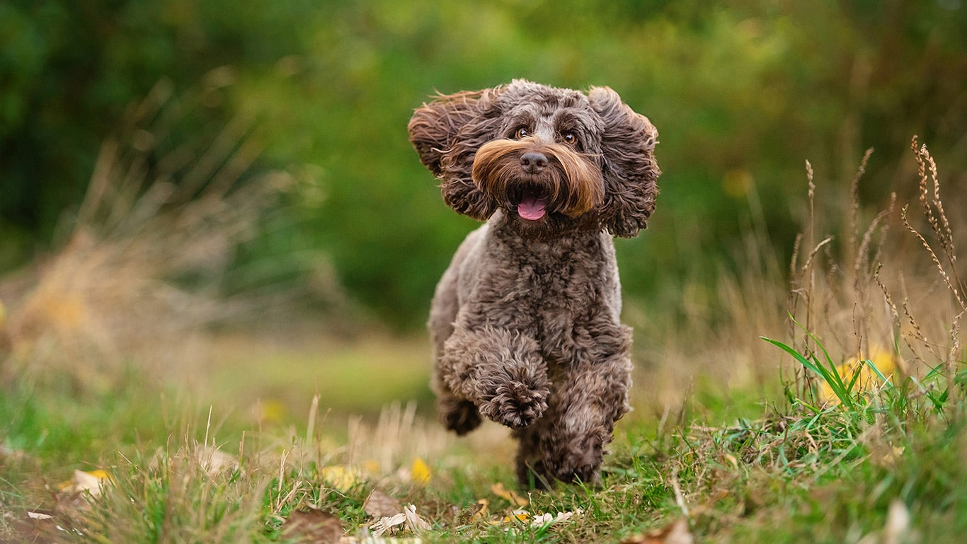 photo of brown cockerpoo running in Northampton field